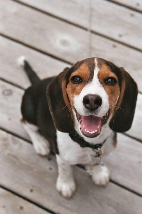 aboiement beagle