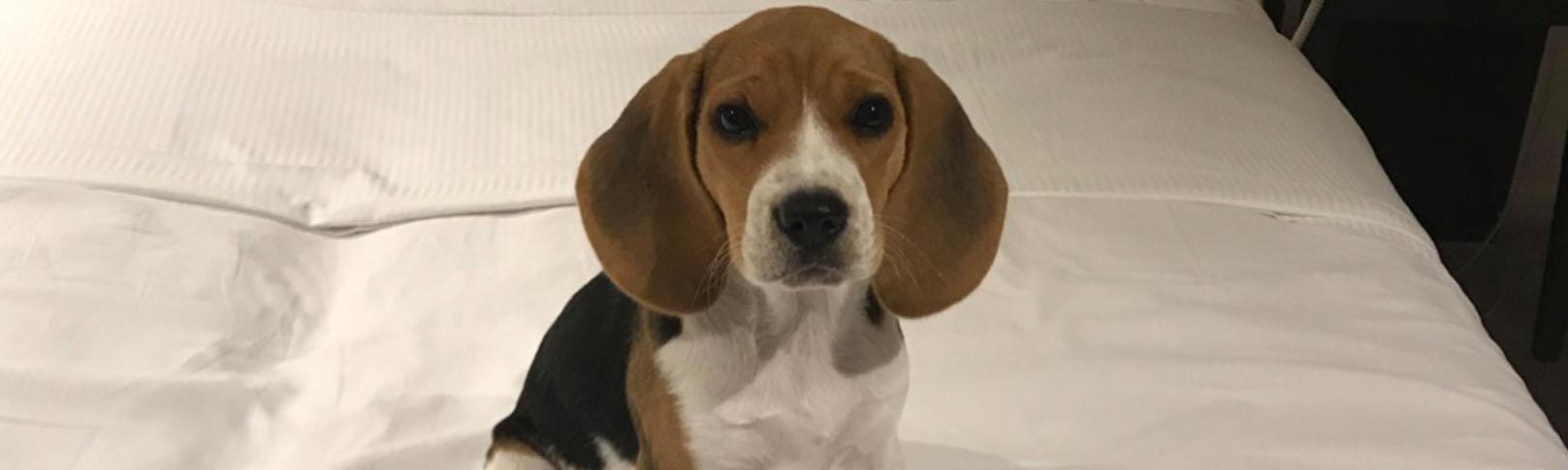Mon beagle à 2 mois
