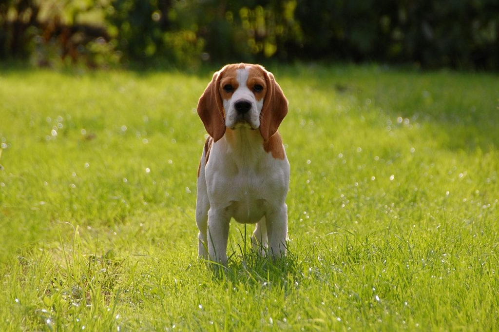 caractere_beagle