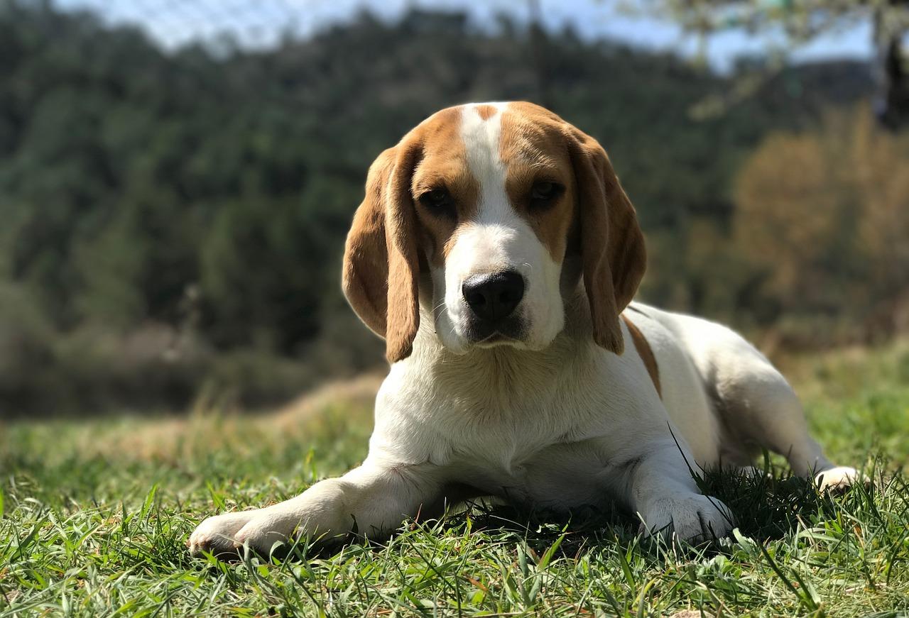 traits-caractere-beagle